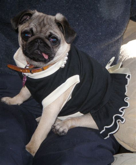 pug dress pug in a dress tina the pug in frock by rob pennycook flickr