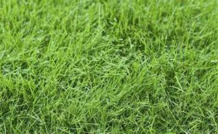 fine fescue care information and tips on using fine fescue for lawns