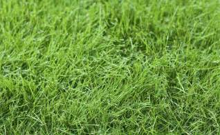 fine fescue care information and tips on using fine