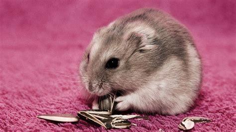 X Bamester Hamster On A Pink Carpet Wallpaper 1069830