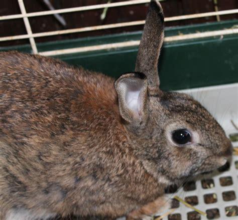 coniglio nano testa di alimentazione coniglio nano testa di avicoli la selva