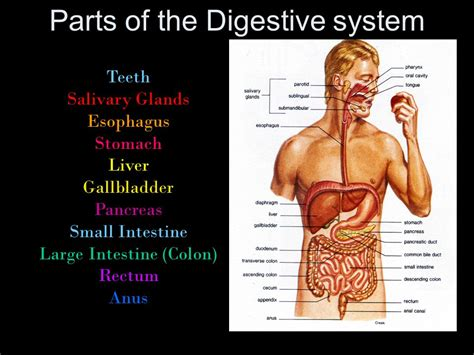 what are the 3 sections of the small intestine digestive system what are the parts of this system ppt