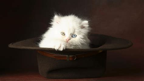 beautiful kittens images for beautiful white cute cat pictures photos