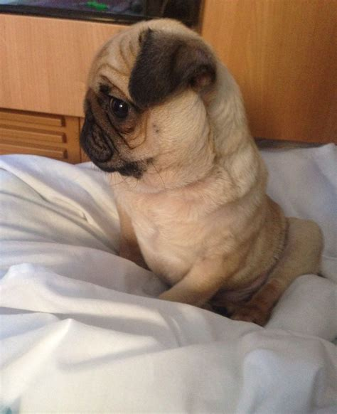 14 week pug fawn pug 14 weeks 700 posted 1 year ago for sale dogs pug quotes