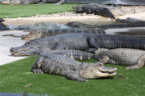 Reptile Gardens Rapid City Sd by 21 Best Images About Aligatory On Gardens