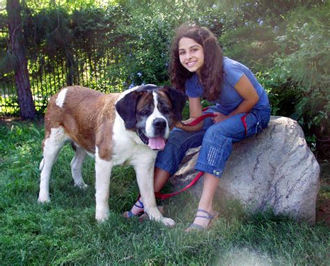 beethoven breed st bernard beethoven breeds picture