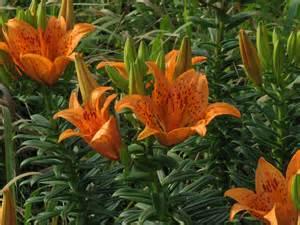 file lilium maculatum flower jpg wikipedia
