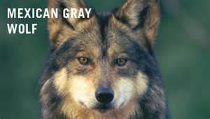 Act Essay Sle by Mexican Gray Wolf