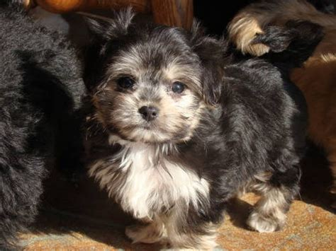 maltese yorkie mix yorkie maltese mix lovable friends