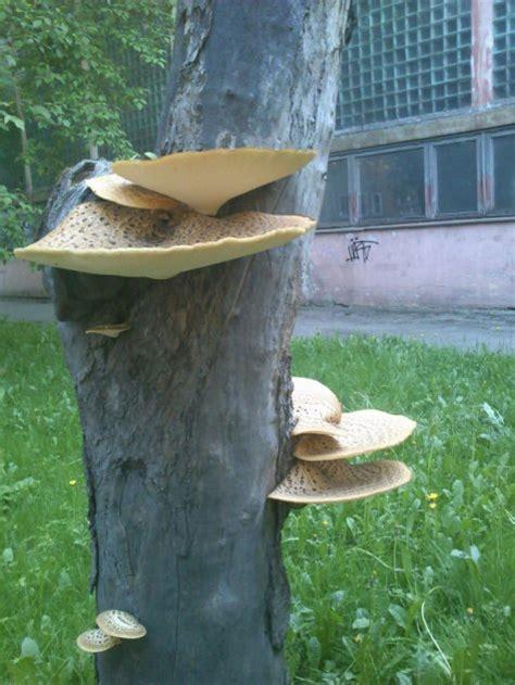 Pilze Englischer Garten by Auf Baum Wachsender Pilz Jung Essbar Looduskalender Ee