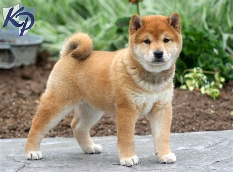 shiba inu puppies for sale in ma german shepherd mix puppy puppies for sale in pa rachael edwards
