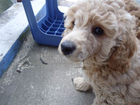 poodle for sale apricot poodle puppies for sale plymouth pets4homes