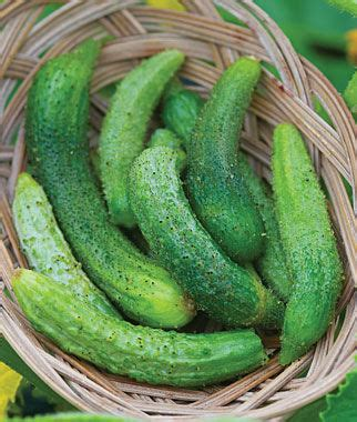 parisian cucumber vegetable seeds  home gardens