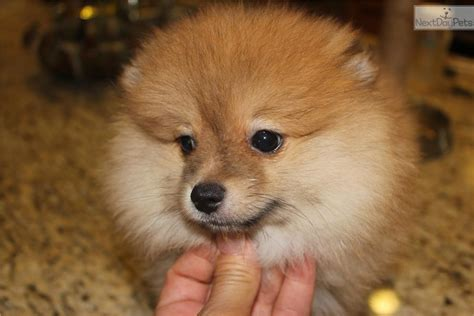 snow white pomeranian puppies sale pomeranian for sale snow white teacup size pomeranian puppies 2 breeds picture