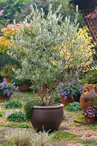 17 best ideas about sweet olive tree on pinterest olive