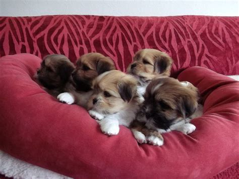 Small Dogs Home Walsall Quality Lhasa Apso Pups For Sale Walsall West Midlands