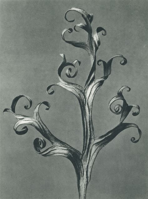 karl blossfeldt icons series wonders of nature michael hoppen gallery debuts an online collection of works by karl