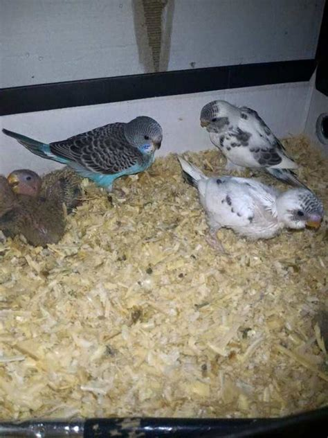 Tempat Makanan Burung Parkit makanan parkit anakan dan dewasa binatang peliharaan
