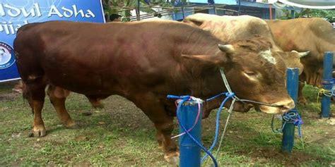 Bibit Sapi Limosin Jawa Timur ibas kurban sapi limosin okezone news
