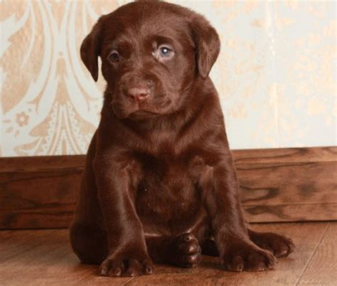 labrador retriever puppies for sale indiana labrador retriever puppies for sale offer