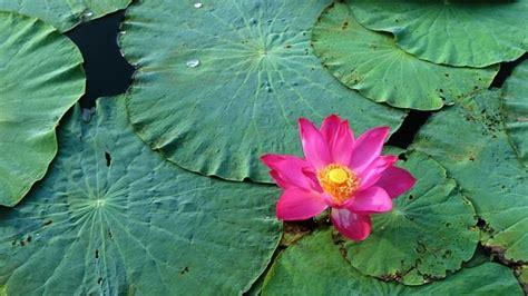 fiore di loto rosa significato significato loto significato dei fiori conoscere il