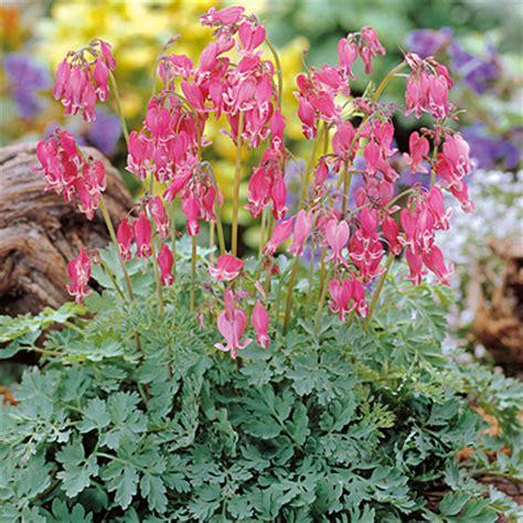 bleeding heart plant care growing information folia