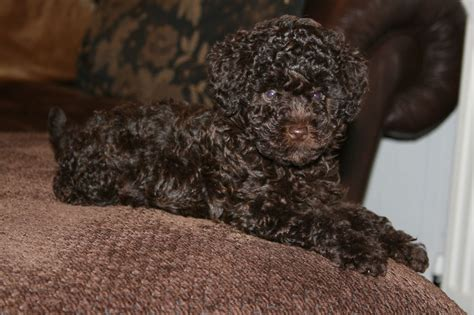 mini poodle for sale poodle for sale birmingham west midlands pets4homes