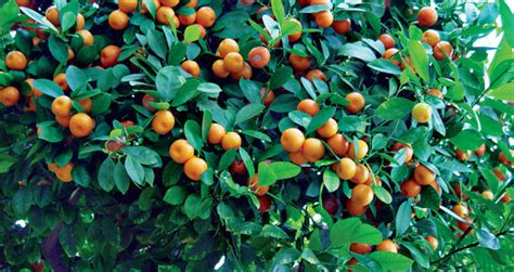 fruit trees in indiana growing tropical fruit in the midwest state by state