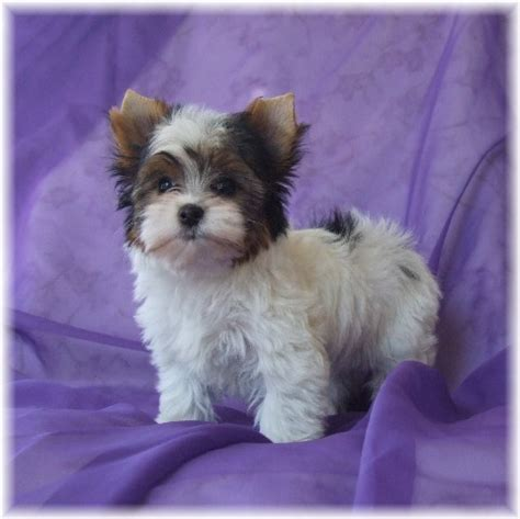 teacup yorkies for sale oklahoma parti yorkie breeder oklahoma rachael edwards