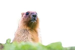 groundhog day german groundhog day has german roots tri county times human