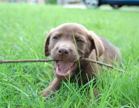 my puppy is teething dear labby my labrador puppy is teething it s a lab thing