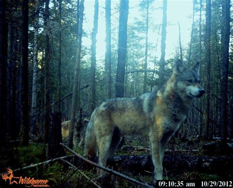 hd trailcam pictures of wolves in winter 34 best images about trail pics on a deer aliens and the neighborhood