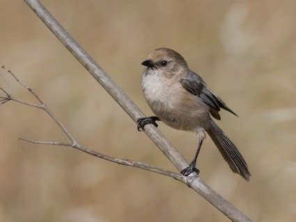 bushtit identification all about birds cornell lab of
