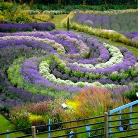 garten lavendel lavender garden all things lavender