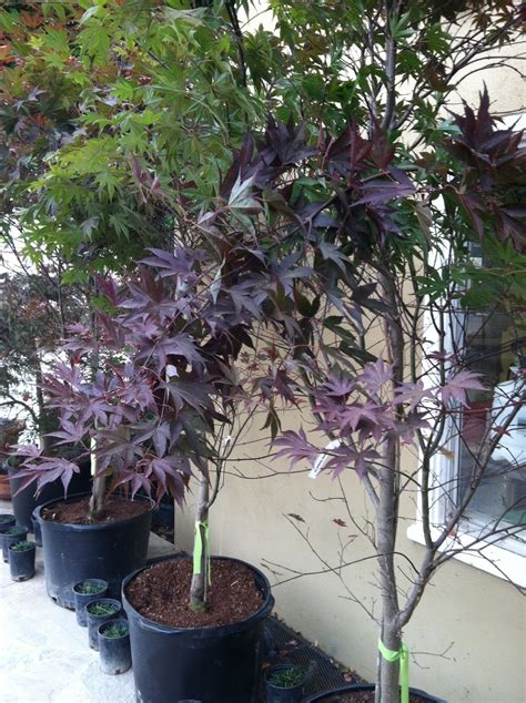 your one stop landscape shop japanese maple sale bloodgood 30 gal