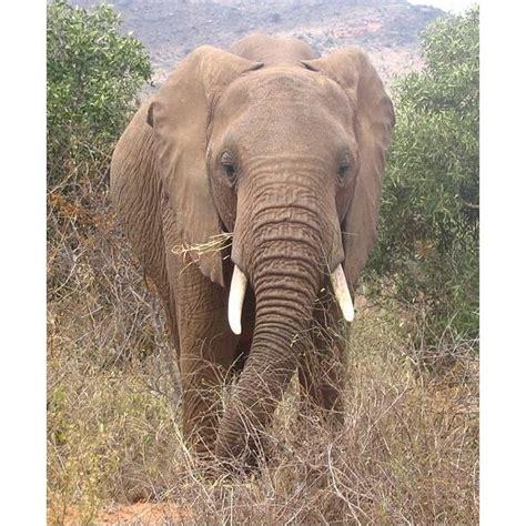 african elephant facts african elephant facts diet habitat behavior and more