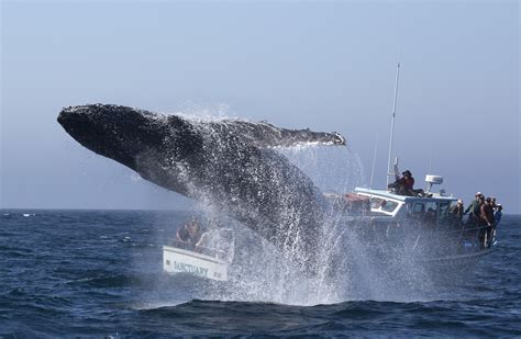 boat us vs sea tow humpback whales quot free willy quot moment captured on camera