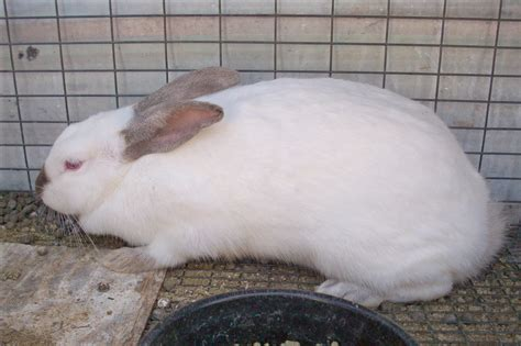 rabbit color calculator himalayan rabbit probably chestnut based color genetics