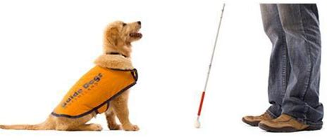 how guide dogs are trained become a puppy carer for guide dogs qld gold coast