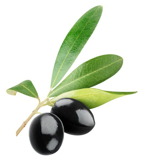 olives clipart branch clipart black olive pencil and in color branch