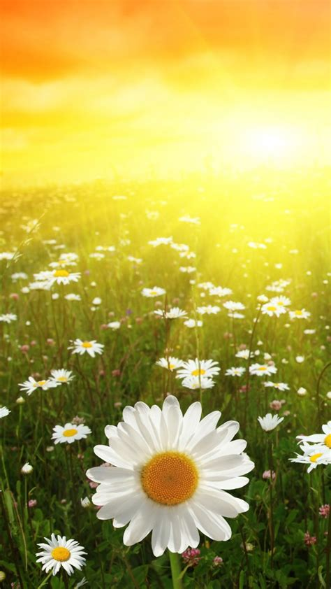 wallpaper daisies   wallpaper  meadows sunset