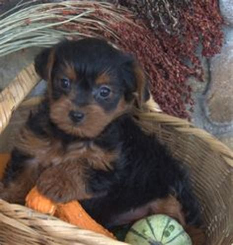 will my yorkie stay black and yorkiepoo yorkie poo puppy for sale near columbus ohio b2f652f0 bf71 pets