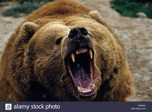 close up of grizzly bear growling captive alaska stock
