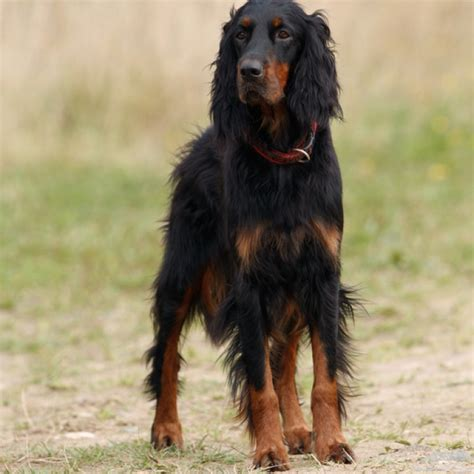 setter puppies for sale gordon setter puppies for sale