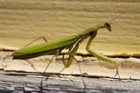 Praying Mantis L by Praying Mantis Praying Mantis For Sale