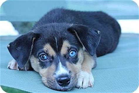 beagle husky mix puppies beagle husky mix www pixshark images galleries with a bite