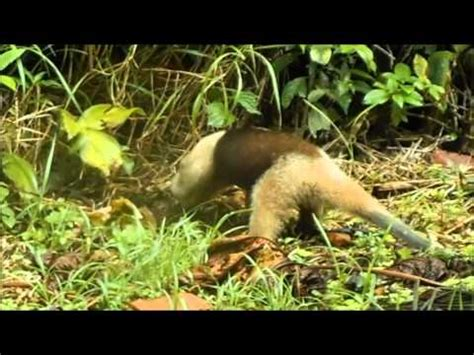 anteater eating ants  costa rica youtube