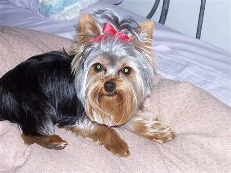 yorkshire beds file yorkshire terrier in bed jpg wikimedia commons