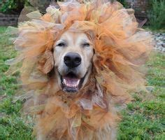 golden retriever costume for humans 1000 images about golden retrievers in costume on golden retrievers dogs