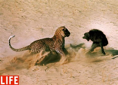 top  fierce animal fight pictures  pics amazing